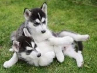 REGALO cachorro husky para adopcion