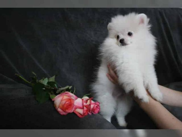 REGALO disponibles LULU POMERANIA