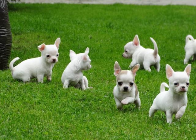 REGALO Chihuahua cachorro para su adopcion