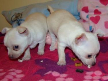 REGALO Chihuahua cachorros para su adopcion