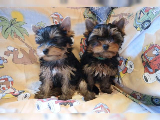 Cachorros yorkshire terrier en adopcion