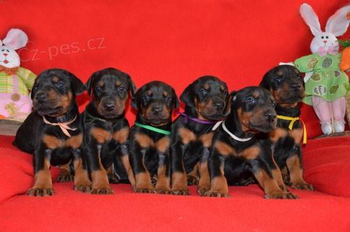 Doberman cachorros disponibles para nuevos hogares