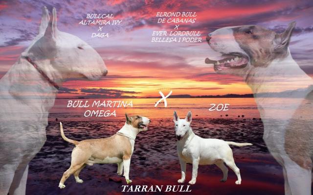 Excelente camada bull terrier