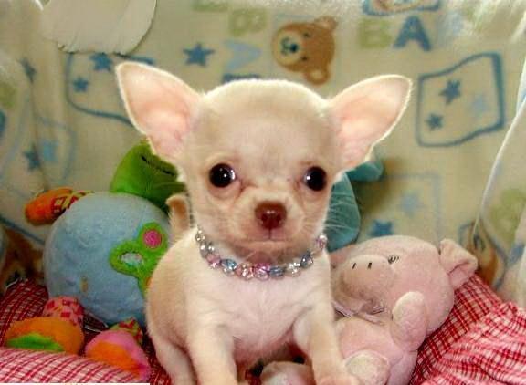 Regalo preciose mini toy chihuahua cachorros 2