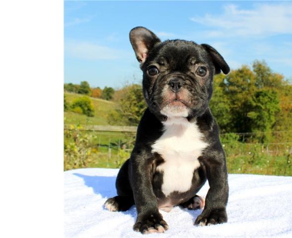 macho y hembra de bulldog frances para adop..