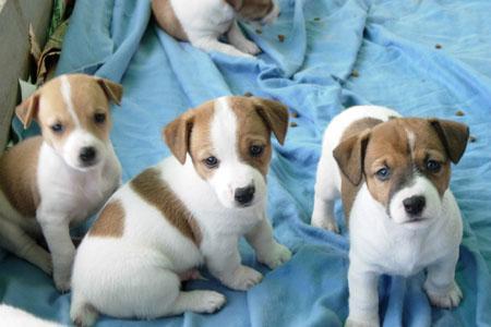 Excelentes cachorros de jack russell terrier