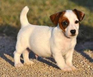 Regalo Bonito cachorros mini jack Russell