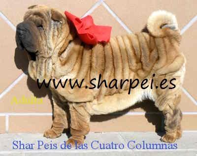 cachorros shar peis 100% americanos sobretipados