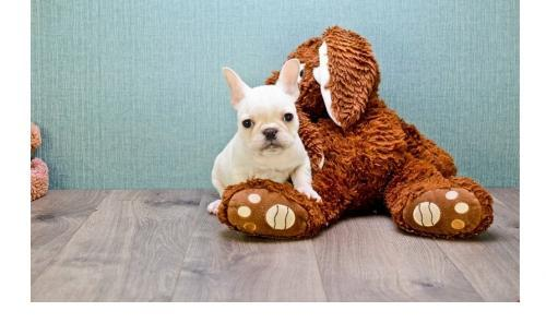 Regalo Cachorro bichon maltesepara Adopcion