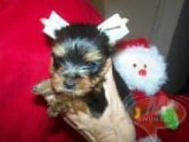 REGALO Navidad cachorro Yorkshire para adopcion