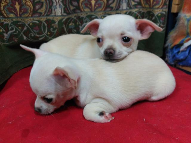 Dos preciosas Chihuahuas toy blancas