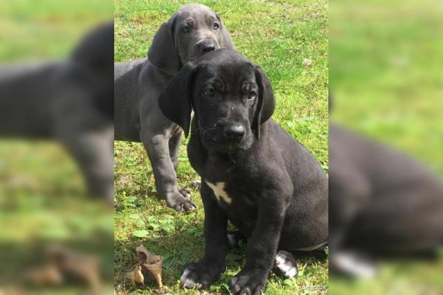 Gran danes cachorros para adopcion