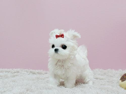 Regalo lindo bichon maltes cachorros mini gratis