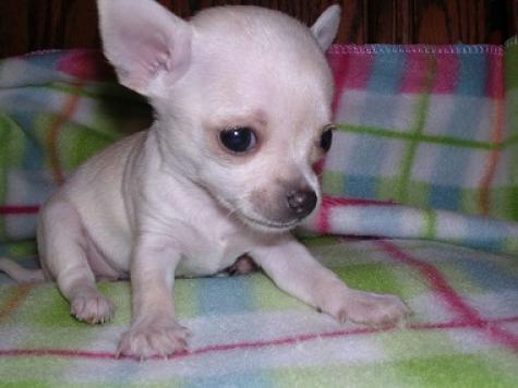 Regalo chihuahua toy cachorros mini para gratis