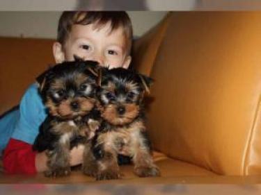 REGALO cachorros macho y la hembra Yorkshire Ter para la adopción