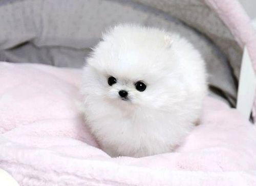 Regalo dulce, pura raza Pomerania cachorros