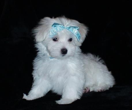 Regalo lindo bichon maltes cachorros gratis