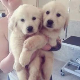 REGALO cachorros macho y la hembra Labrador para la adopción