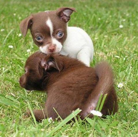 REGALO Chihuahua Cachorros Macho y hembra mini