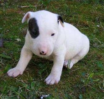 Regalo cachorros Bull Terrier en adopción.