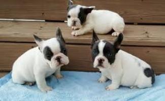 Regalo cachorro bulldog frances macho y hembras