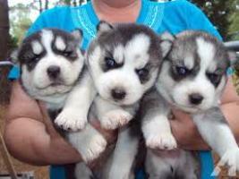 Regalo Tengo 3 increíbles cachorros Siberian Husky.