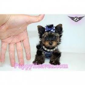 Regalo toy cachorros yorkshire terrier yorkie nue