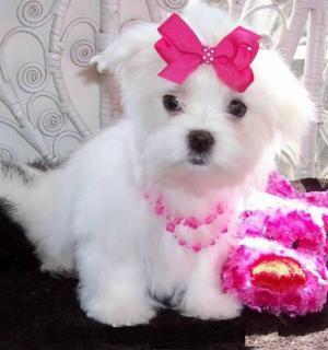 hermoso cachorro de Navidad maltés listo para rehoming