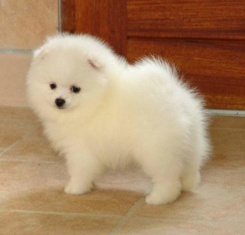 Regalo pura raza cachorros de Pomerania ****