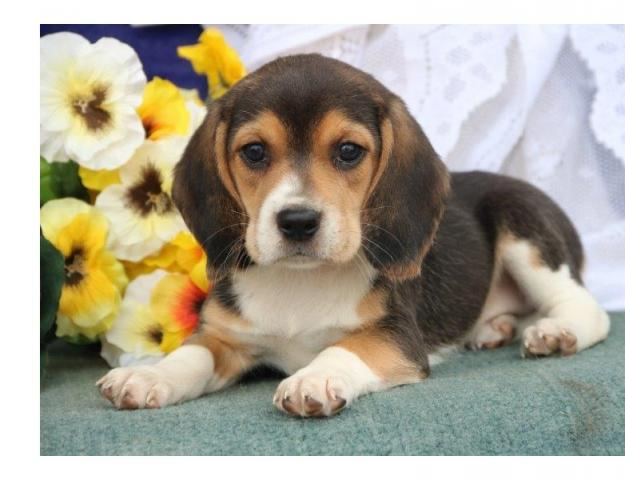 Regalo Hermoso Beagle cachorros para la adopción