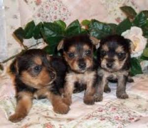 Regalo preciose cachorros yorkshire gratis