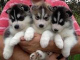 Regalo magnificos husky siberiano cachorro