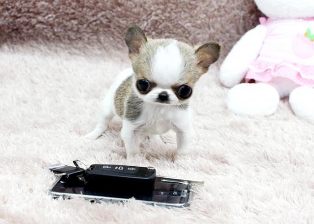 Regalo hermoso perrito chihuahua de Navidad listo para rehoming