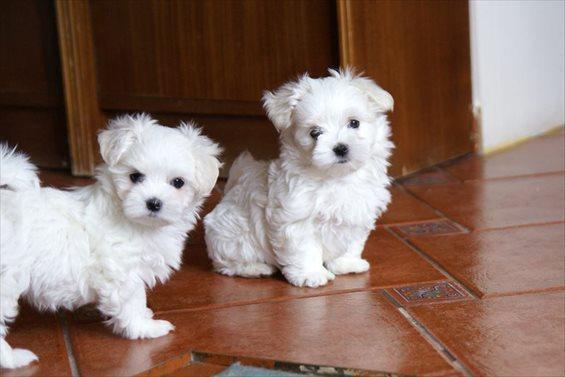 Dos simpáticos cachorros maltés,,,