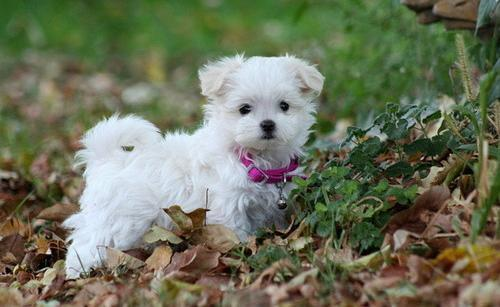 Cachorros maltés pedigrí