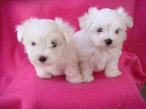 cachorros maltés de pura raza