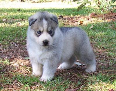 Regalo Husky para adopcion