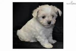 Regalo muy bonito miniatura mini toy cachorros de bichon...