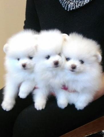 Regalo lindo mini pomeranian toy lulu cachorros para la adopción