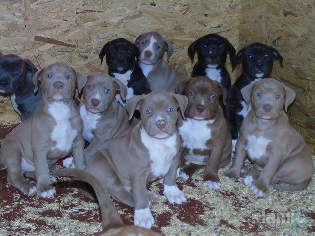 Pitbull cachorros de 2 meses