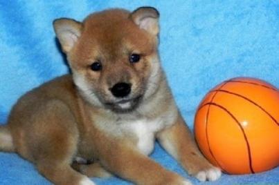 Regalo shiba inu cachorros lindo grais adopcion