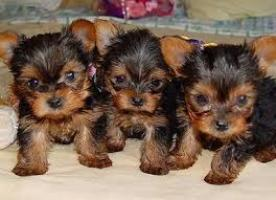 Regalo cachorros toy yorkshire terrier