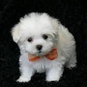 hermoso cachorro de Navidad maltés listo para la adopcion