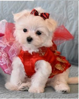 Regalo bichon maltes mini toy cachorros gratis