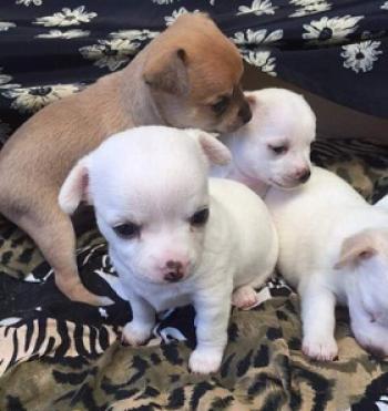 Regalo lindo chihuahua toy cachorros gratis