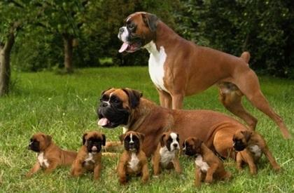 Regalo cachorros grand danes para adopcion