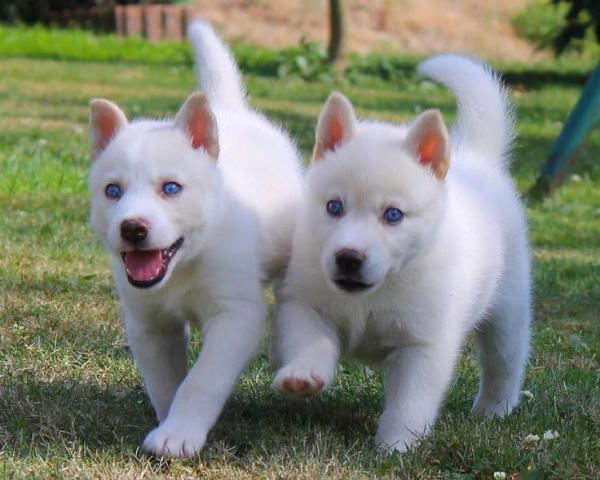 hermoso cachorro de husky de Navidad listo para rehoming