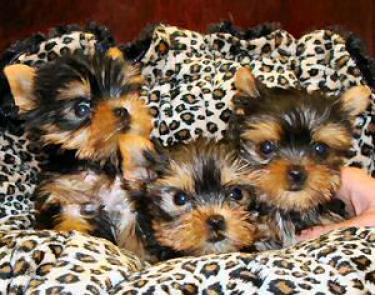 Preciosos cachorritos yorkshire ......