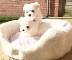Regalo preciosa cachorros bichon maltes mini toy