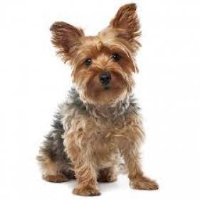 Regalo mini yorkshire terrier cachorros gratis nuevo